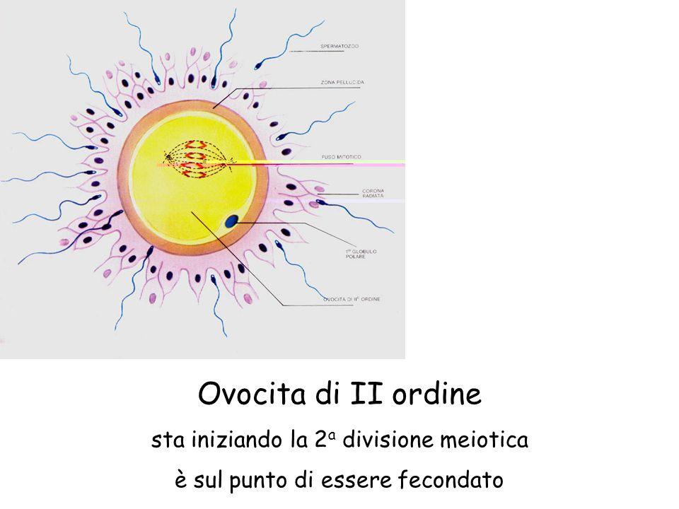 Ovocita di II ordine sta iniziando la 2 a divisione meiotica è sul punto di essere fecondato