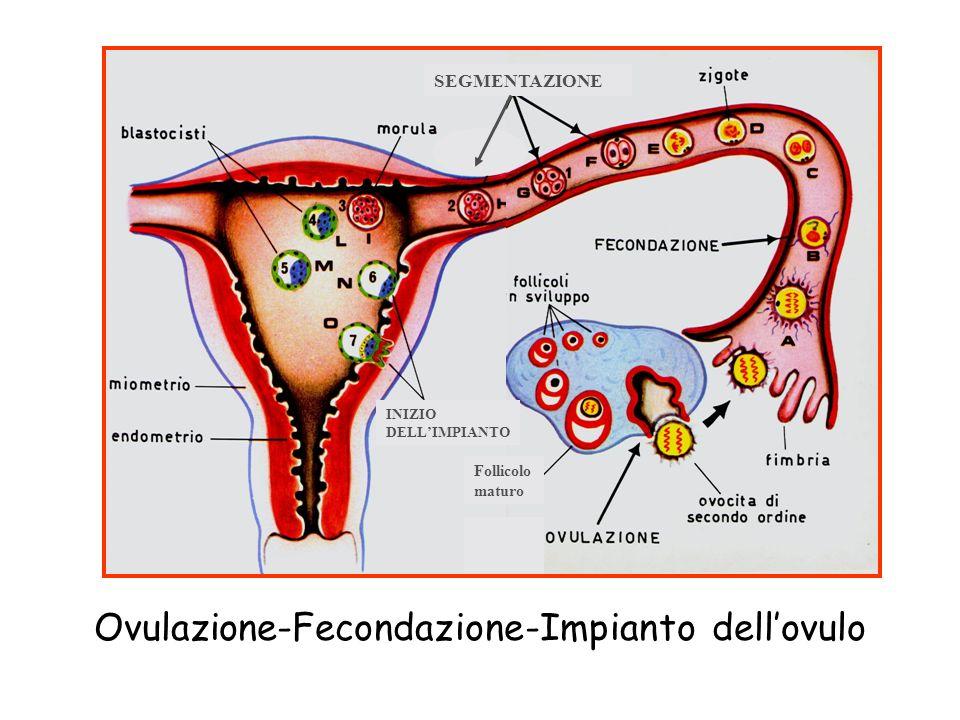 Follicolo maturo SEGMENTAZIONE INIZIO DELL'IMPIANTO Ovulazione-Fecondazione-Impianto dell'ovulo