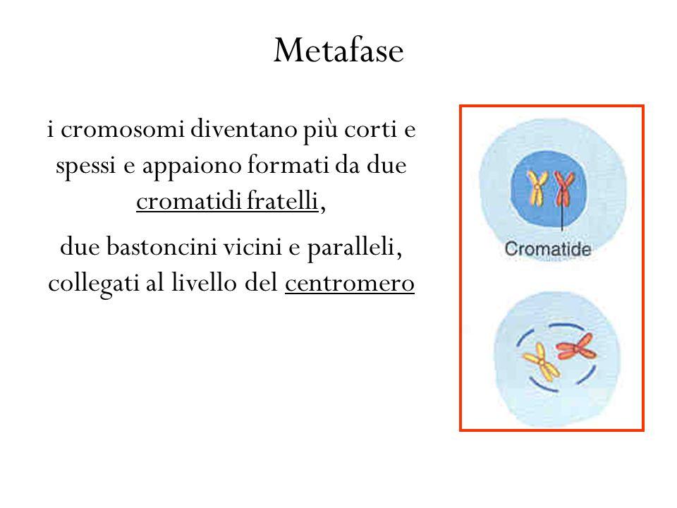 Metafase i cromosomi diventano più corti e spessi e appaiono formati da due cromatidi fratelli, due bastoncini vicini e paralleli, collegati al livello del centromero