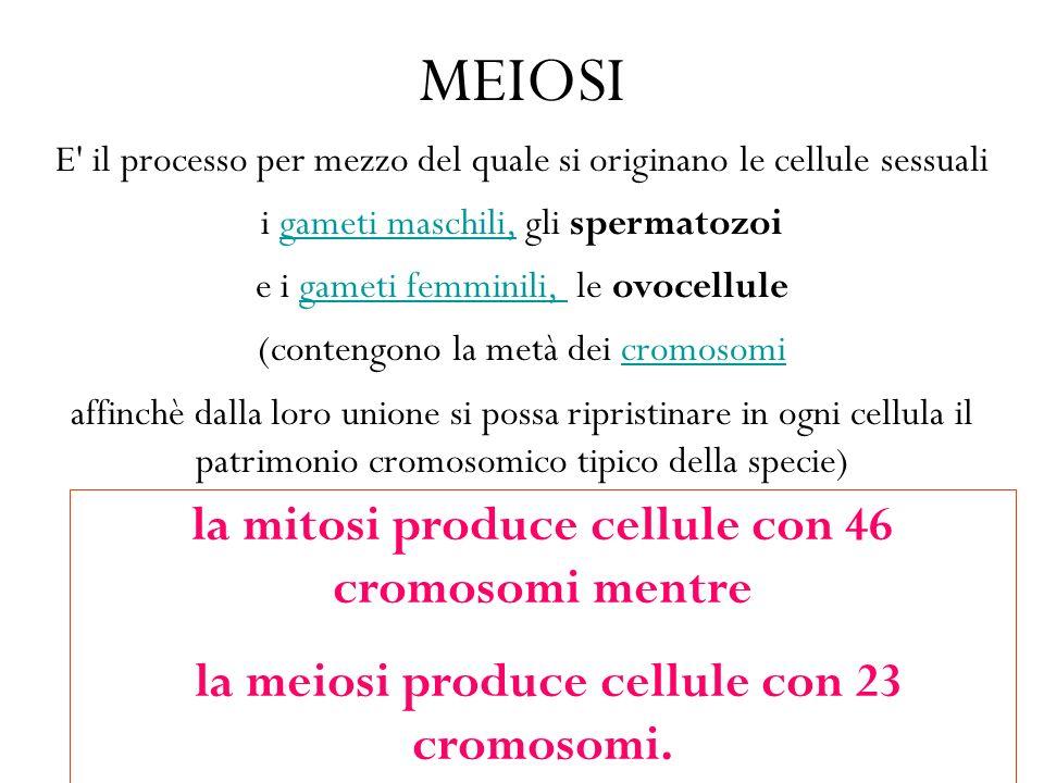 MEIOSI E il processo per mezzo del quale si originano le cellule sessuali i gameti maschili, gli spermatozoigameti maschili, e i gameti femminili, le ovocellulegameti femminili, (contengono la metà dei cromosomicromosomi affinchè dalla loro unione si possa ripristinare in ogni cellula il patrimonio cromosomico tipico della specie) la mitosi produce cellule con 46 cromosomi mentre la meiosi produce cellule con 23 cromosomi.