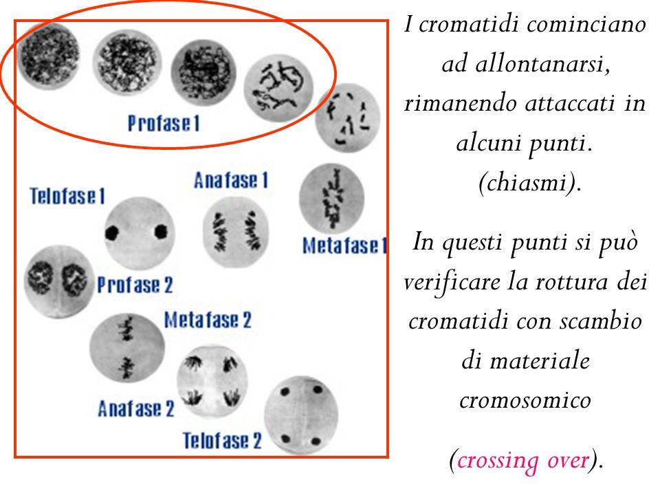 I cromatidi cominciano ad allontanarsi, rimanendo attaccati in alcuni punti.