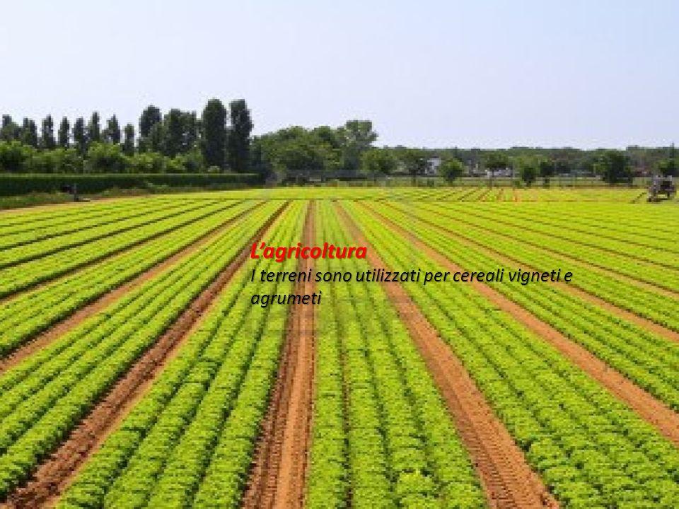 L'agricoltura I terreni sono utilizzati per cereali vigneti e agrumeti