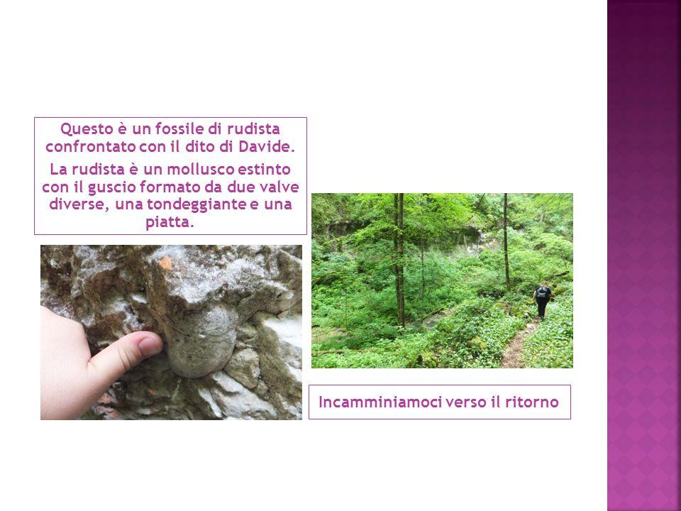 Questo è un fossile di rudista confrontato con il dito di Davide. La rudista è un mollusco estinto con il guscio formato da due valve diverse, una ton