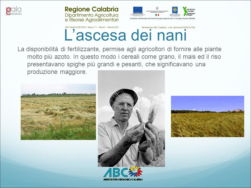 L'ascesa dei nani La disponibilità di fertilizzante, permise agli agricoltori di fornire alle piante molto più azoto. In questo modo i cereali come gr