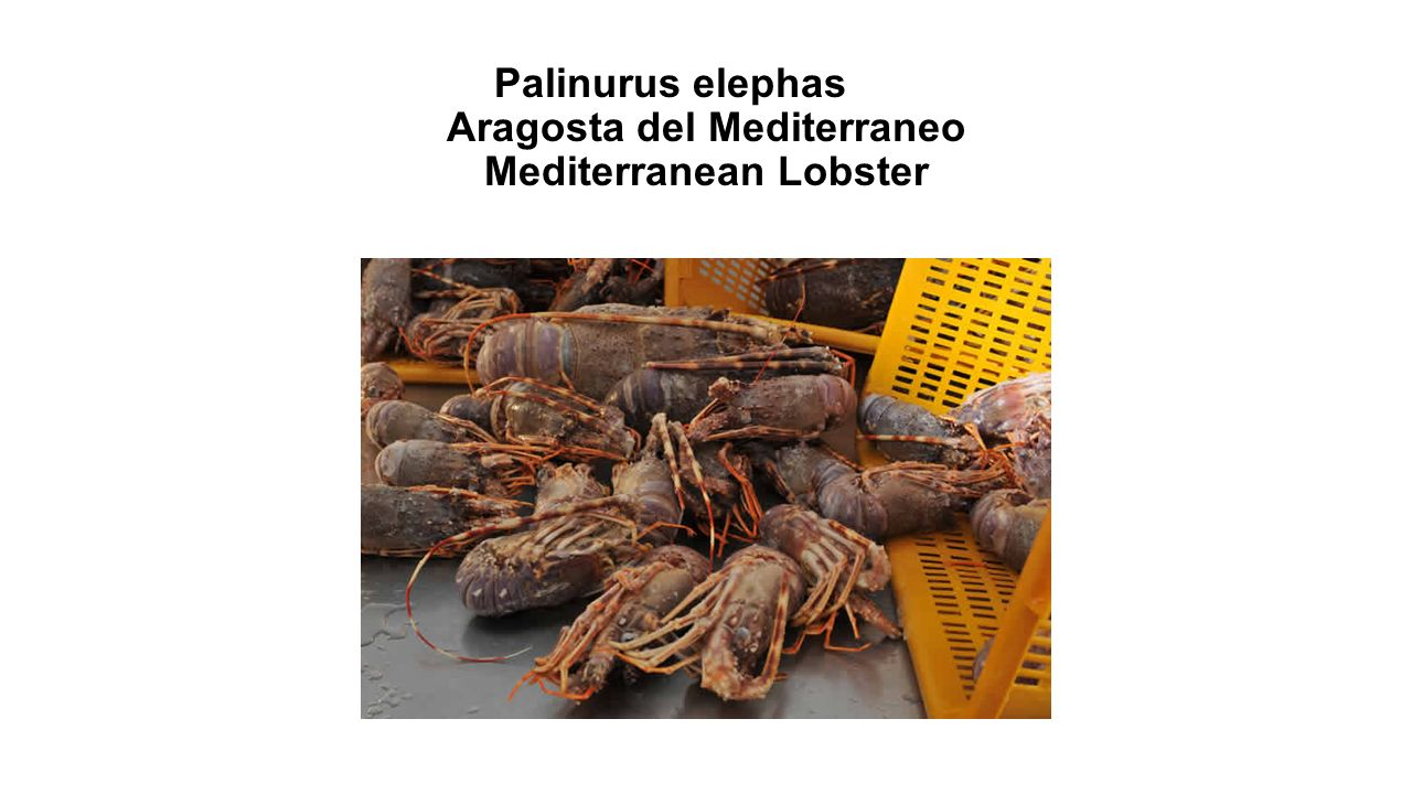 Palinurus elephas Aragosta del Mediterraneo Mediterranean Lobster