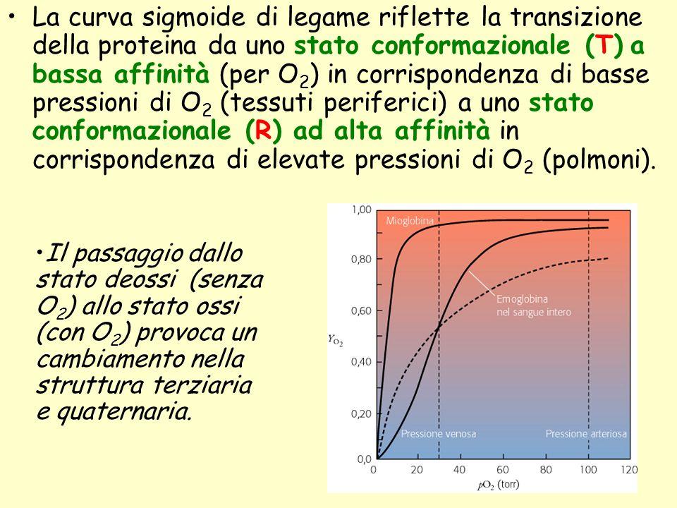 La curva sigmoide di legame riflette la transizione della proteina da uno stato conformazionale (T) a bassa affinità (per O 2 ) in corrispondenza di b