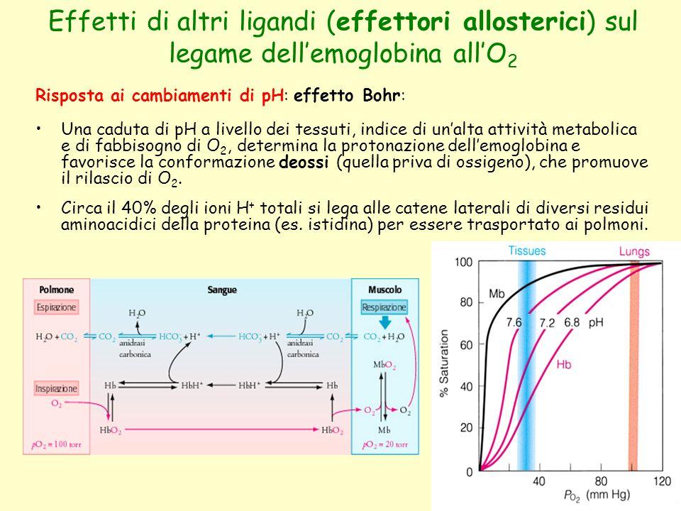 Effetti di altri ligandi (effettori allosterici) sul legame dell'emoglobina all'O 2 Risposta ai cambiamenti di pH: effetto Bohr: Una caduta di pH a li