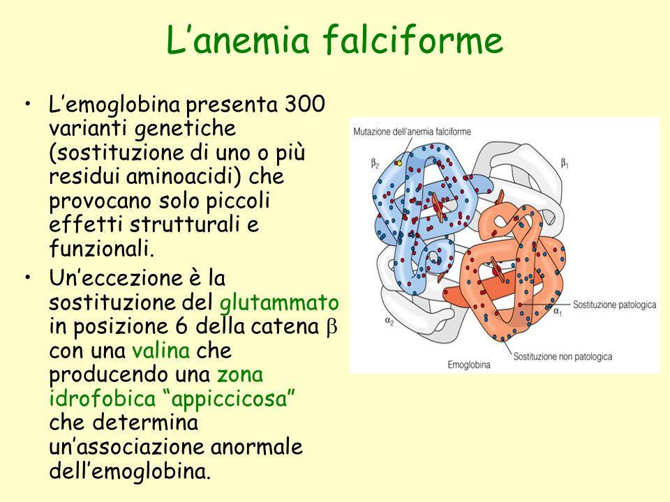 L'anemia falciforme L'emoglobina presenta 300 varianti genetiche (sostituzione di uno o più residui aminoacidi) che provocano solo piccoli effetti str