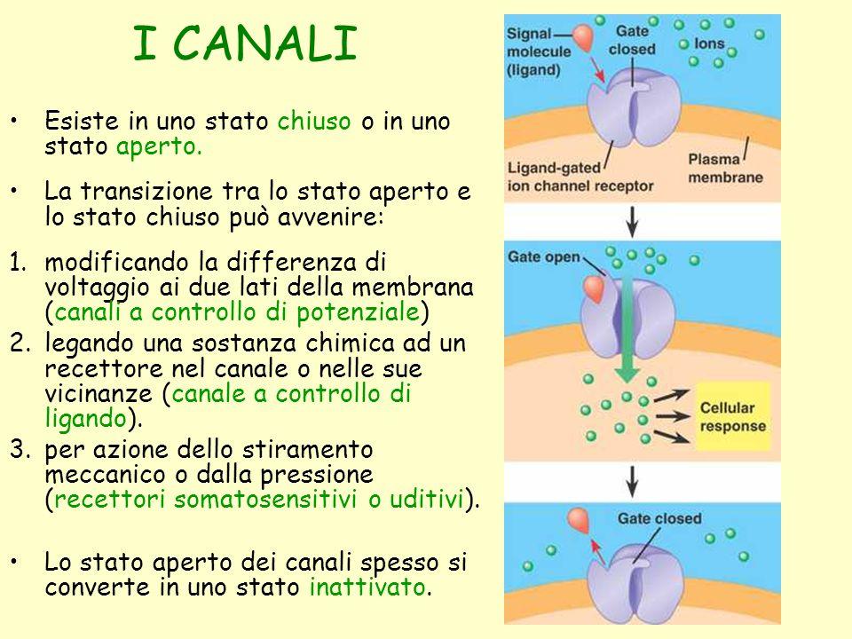 I CANALI Esiste in uno stato chiuso o in uno stato aperto. La transizione tra lo stato aperto e lo stato chiuso può avvenire: 1.modificando la differe