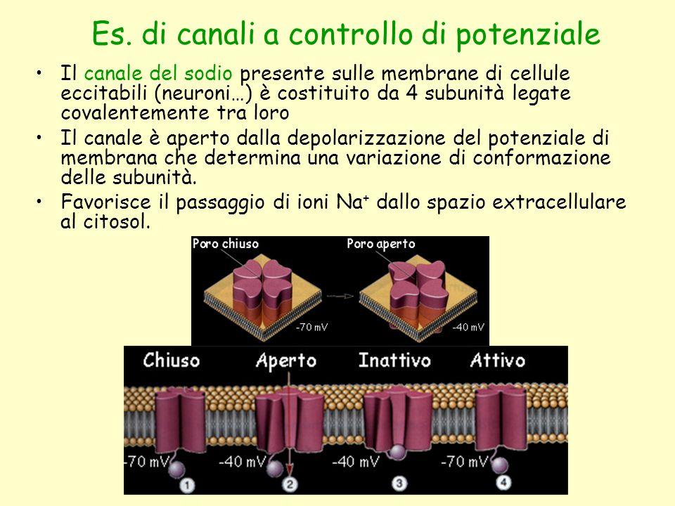Es. di canali a controllo di potenziale Il canale del sodio presente sulle membrane di cellule eccitabili (neuroni…) è costituito da 4 subunità legate