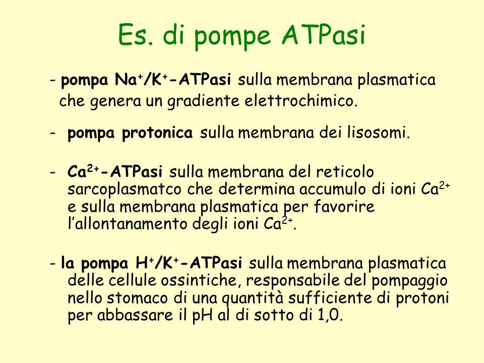 Es. di pompe ATPasi - pompa Na + /K + -ATPasi sulla membrana plasmatica che genera un gradiente elettrochimico. -pompa protonica sulla membrana dei li