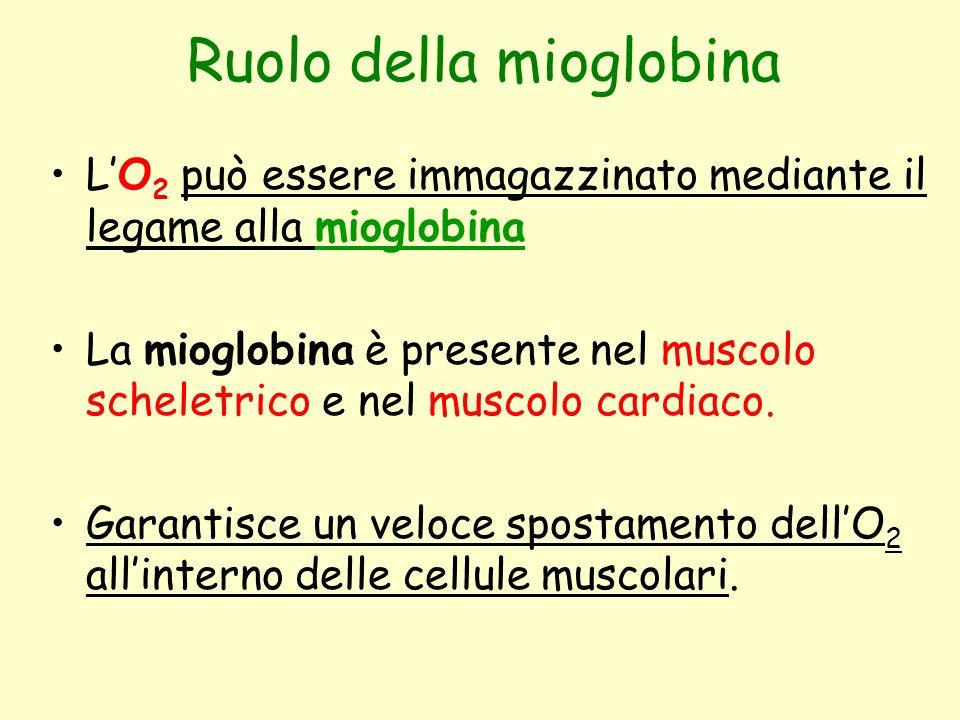 Ruolo della mioglobina L'O 2 può essere immagazzinato mediante il legame alla mioglobina La mioglobina è presente nel muscolo scheletrico e nel muscol