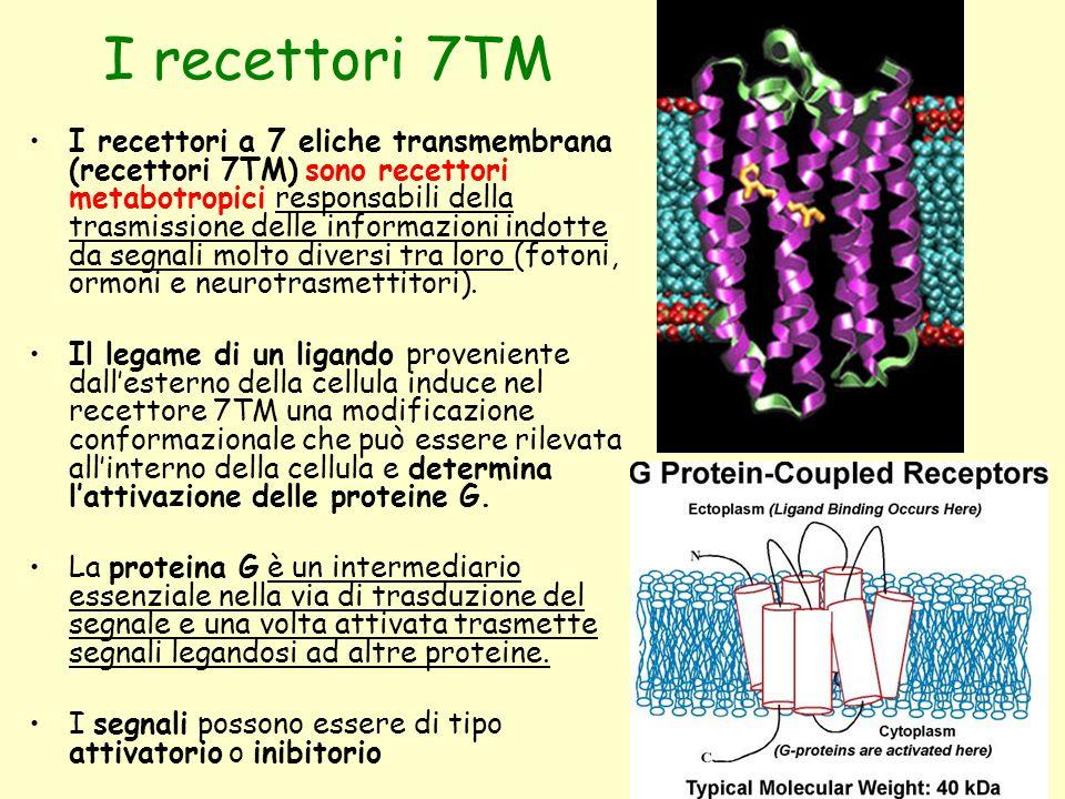 I recettori 7TM I recettori a 7 eliche transmembrana (recettori 7TM) sono recettori metabotropici responsabili della trasmissione delle informazioni i