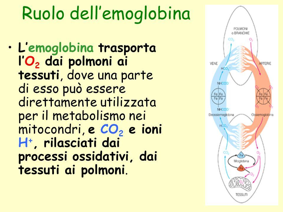 Ruolo dell'emoglobina L'emoglobina trasporta l'O 2 dai polmoni ai tessuti, dove una parte di esso può essere direttamente utilizzata per il metabolism