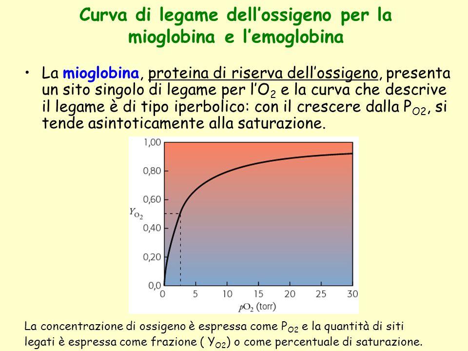 Curva di legame dell'ossigeno per la mioglobina e l'emoglobina La mioglobina, proteina di riserva dell'ossigeno, presenta un sito singolo di legame pe