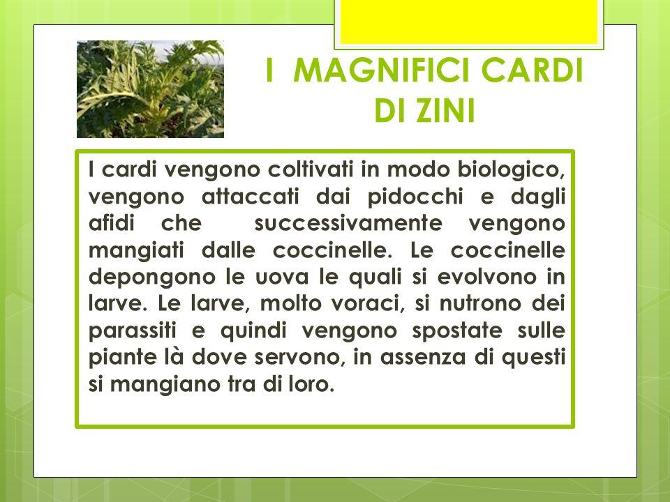 I MAGNIFICI CARDI DI ZINI I cardi vengono coltivati in modo biologico, vengono attaccati dai pidocchi e dagli afidi che successivamente vengono mangia