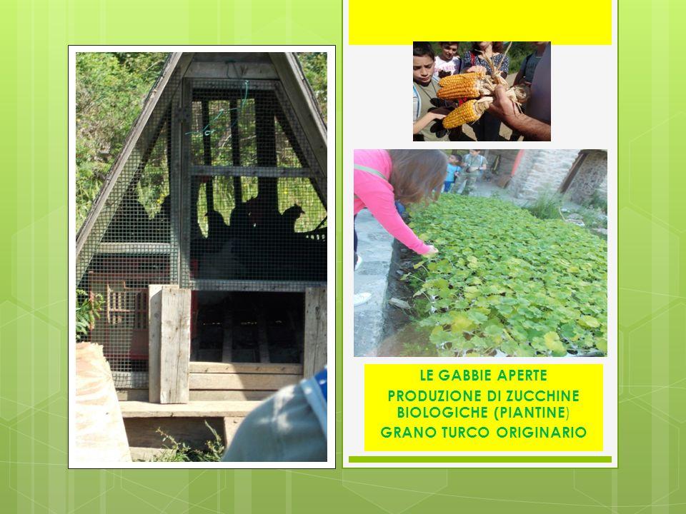 LE GABBIE APERTE PRODUZIONE DI ZUCCHINE BIOLOGICHE (PIANTINE ) GRANO TURCO ORIGINARIO
