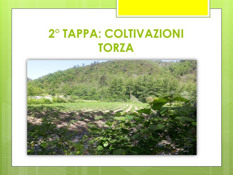 FAGIOLANA DI TORZA I fagioli vengono piantati in Primavera e sostenuti con grossi pali di castagno; ogni 4 piante se ne pianta uno.