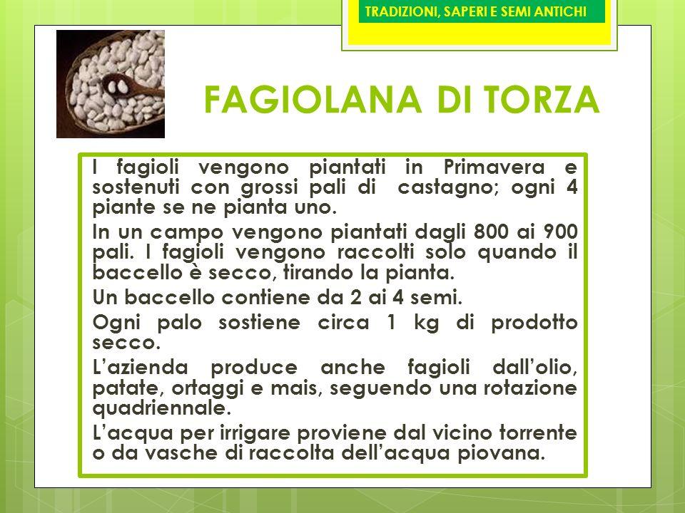 FAGIOLANA DI TORZA I fagioli vengono piantati in Primavera e sostenuti con grossi pali di castagno; ogni 4 piante se ne pianta uno. In un campo vengon