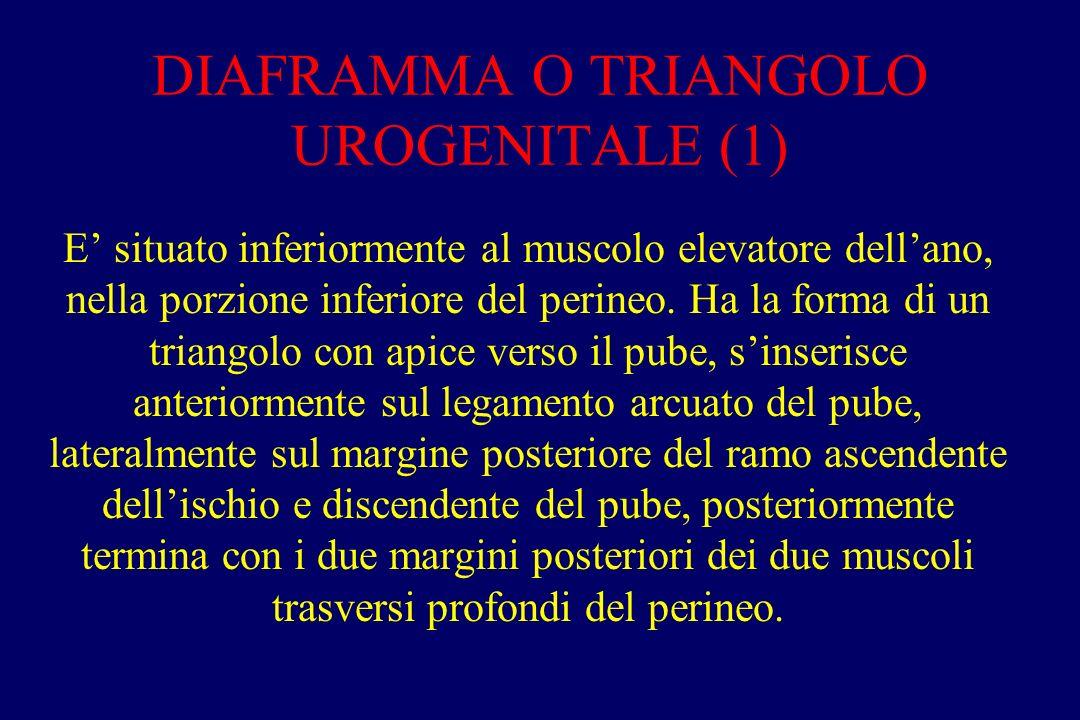 DIAFRAMMA O TRIANGOLO UROGENITALE (1) E' situato inferiormente al muscolo elevatore dell'ano, nella porzione inferiore del perineo. Ha la forma di un