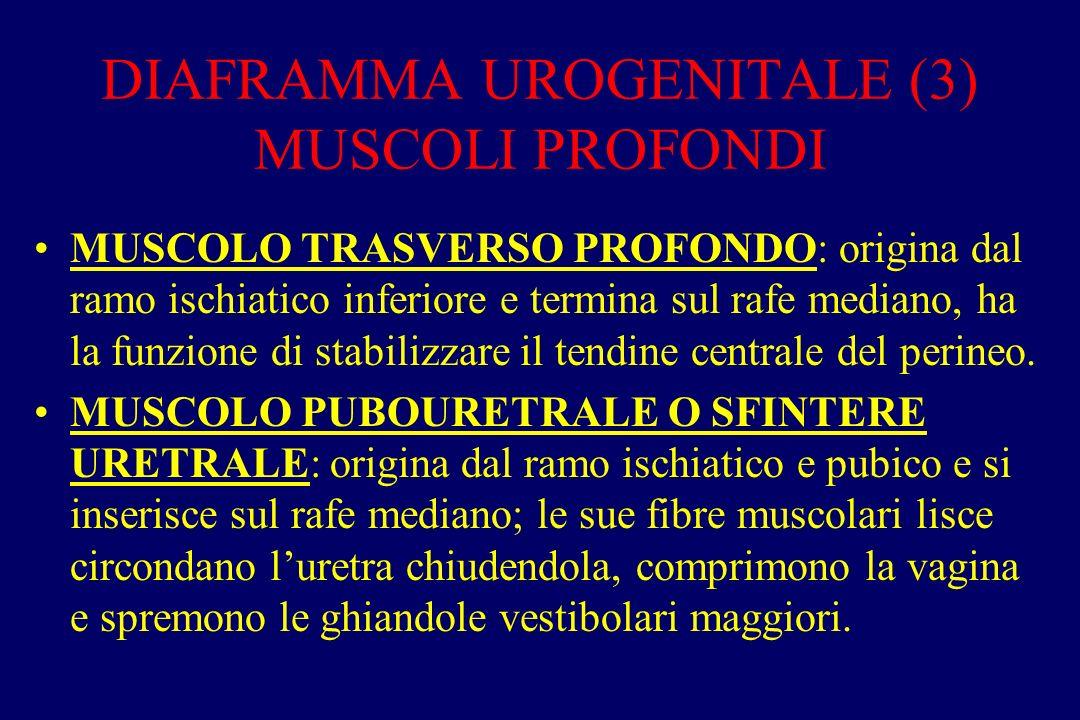 DIAFRAMMA UROGENITALE (3) MUSCOLI PROFONDI MUSCOLO TRASVERSO PROFONDO: origina dal ramo ischiatico inferiore e termina sul rafe mediano, ha la funzione di stabilizzare il tendine centrale del perineo.