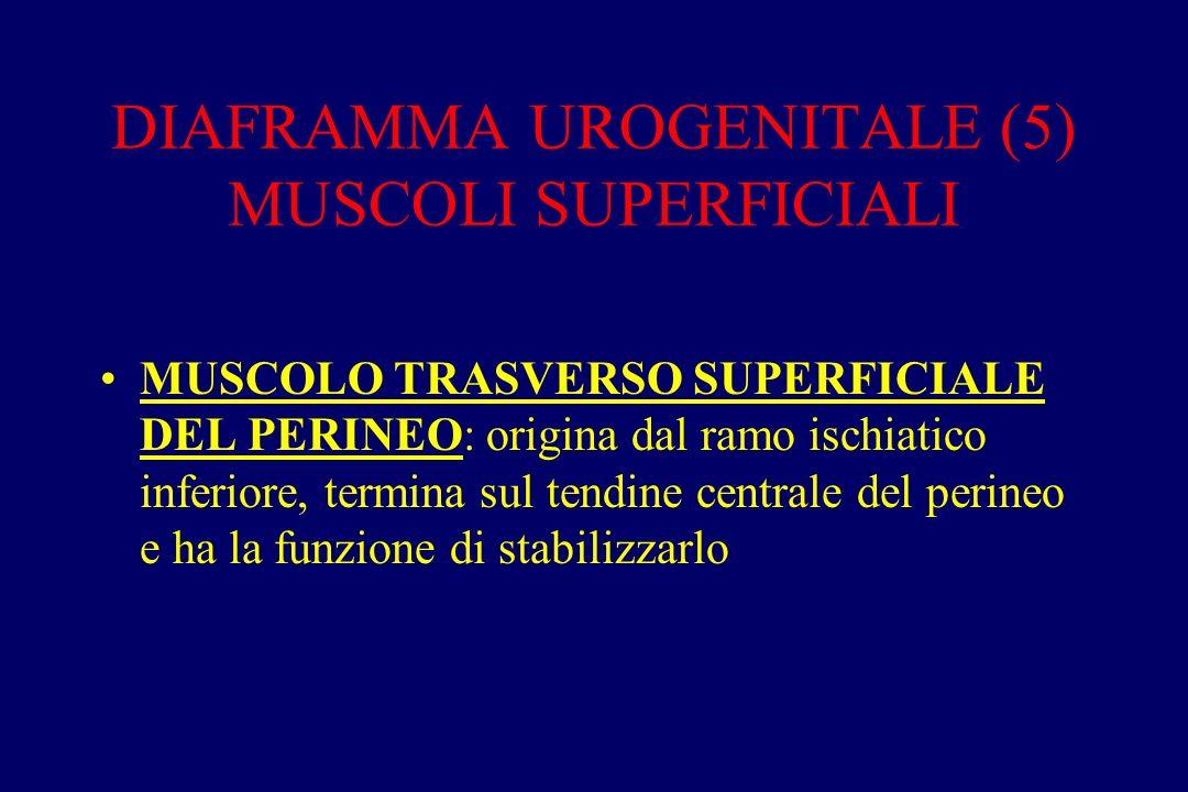 DIAFRAMMA UROGENITALE (5) MUSCOLI SUPERFICIALI MUSCOLO TRASVERSO SUPERFICIALE DEL PERINEO: origina dal ramo ischiatico inferiore, termina sul tendine centrale del perineo e ha la funzione di stabilizzarlo