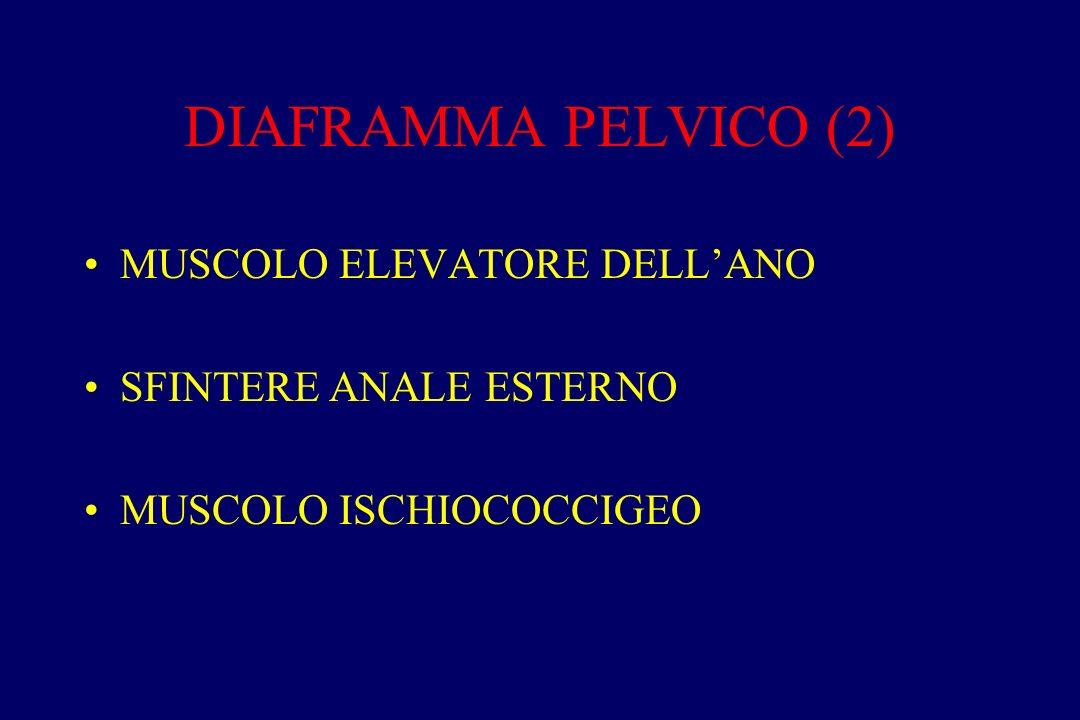 DIAFRAMMA PELVICO (2) MUSCOLO ELEVATORE DELL'ANO SFINTERE ANALE ESTERNO MUSCOLO ISCHIOCOCCIGEO
