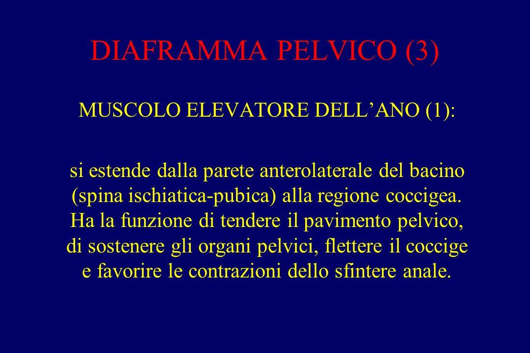 DIAFRAMMA PELVICO (3) MUSCOLO ELEVATORE DELL'ANO (1): si estende dalla parete anterolaterale del bacino (spina ischiatica-pubica) alla regione coccige
