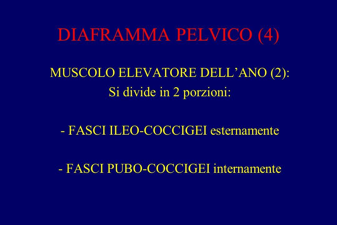 DIAFRAMMA PELVICO (4) MUSCOLO ELEVATORE DELL'ANO (2): Si divide in 2 porzioni: - FASCI ILEO-COCCIGEI esternamente - FASCI PUBO-COCCIGEI internamente