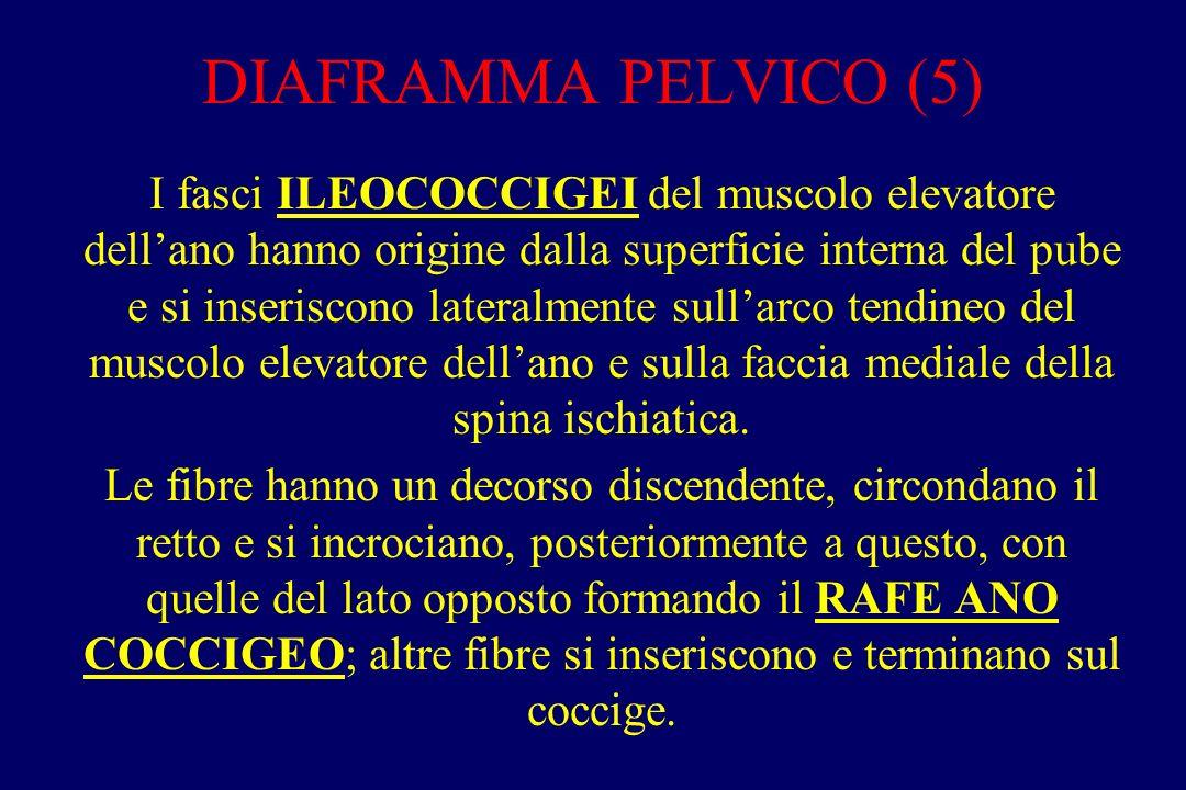 DIAFRAMMA PELVICO (6) I fasci PUBOCOCCIGEI del muscolo elevatore dell'ano si inseriscono in avanti sui rami discendente ed orizzontale del pube, posteriormente alcuni fasci si incrociano con quelli opposti, sulla linea mediana, formando la PIASTRA O CENTRO TENDINEO del muscolo elevatore dell'ano, saldata posteriormente al coccige e anteriormente delimitante lo hiatus genitale.