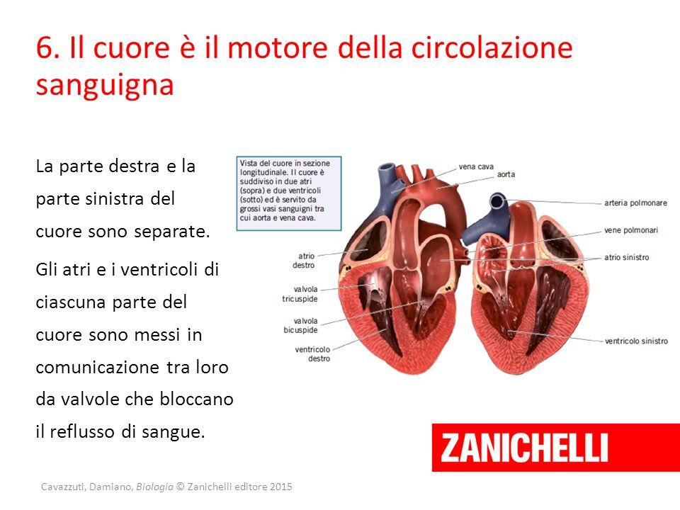 Cavazzuti, Damiano, Biologia © Zanichelli editore 2015 6. Il cuore è il motore della circolazione sanguigna Gli atri e i ventricoli di ciascuna parte