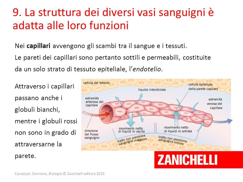 Cavazzuti, Damiano, Biologia © Zanichelli editore 2015 Nei capillari avvengono gli scambi tra il sangue e i tessuti. Le pareti dei capillari sono pert