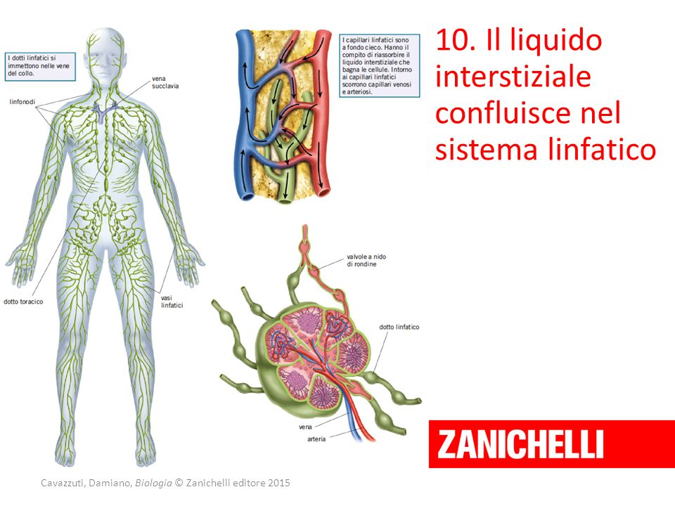 Cavazzuti, Damiano, Biologia © Zanichelli editore 2015 10. Il liquido interstiziale confluisce nel sistema linfatico