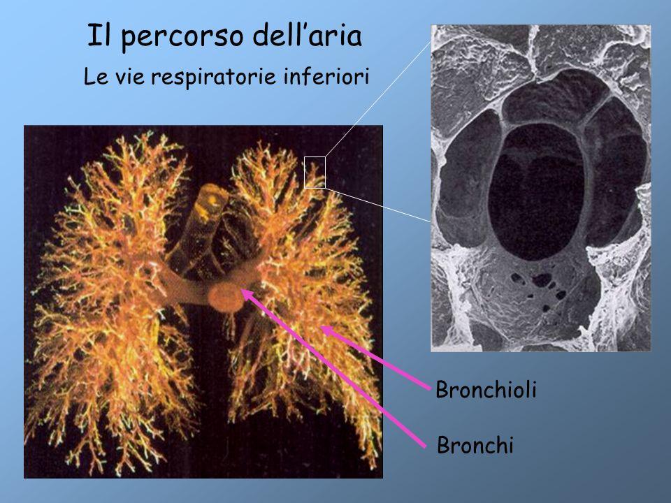 Il percorso dell'aria Le vie respiratorie inferiori Bronchi Bronchioli Alveoli 300 milioni 0,1 – 0,2 mm