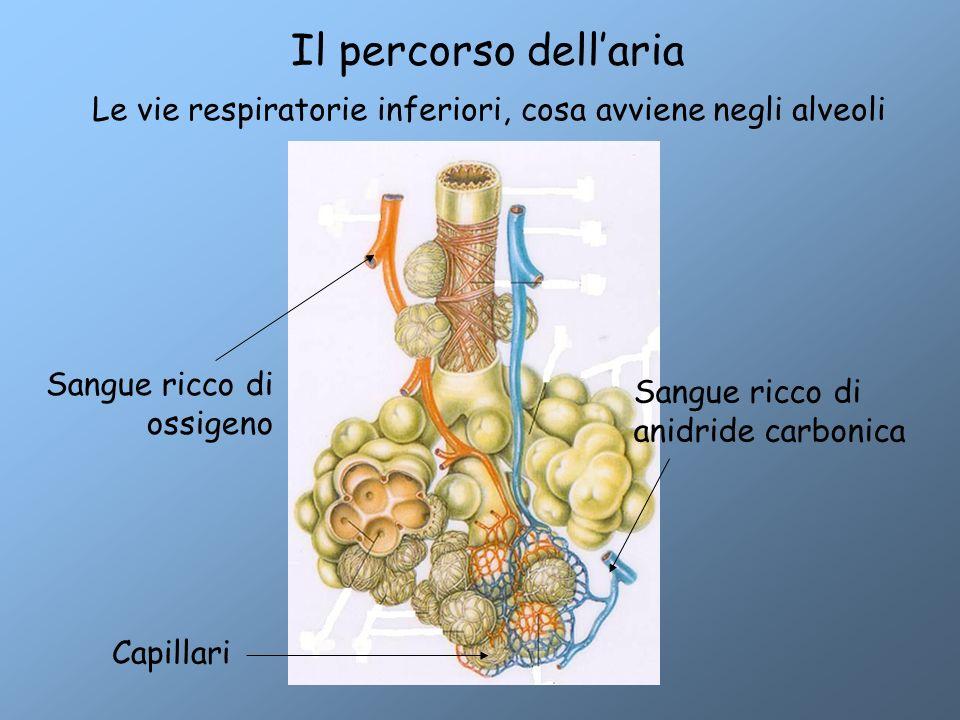 Il percorso dell'aria Le vie respiratorie inferiori, cosa avviene negli alveoli Sangue ricco di anidride carbonica Sangue ricco di ossigeno Capillari