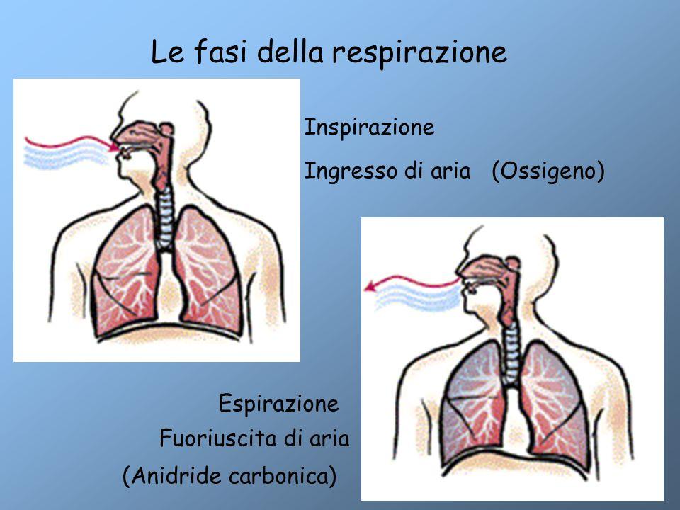 Inspirazione Espirazione Ingresso di aria Fuoriuscita di aria Le fasi della respirazione (Ossigeno) (Anidride carbonica)