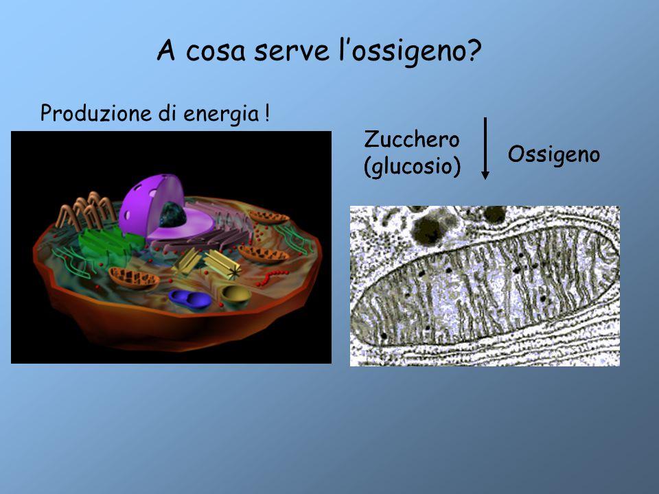 Anidride carbonica Energia Zucchero (glucosio) Ossigeno A cosa serve l'ossigeno? Produzione di energia ! Zucchero (glucosio) Ossigeno