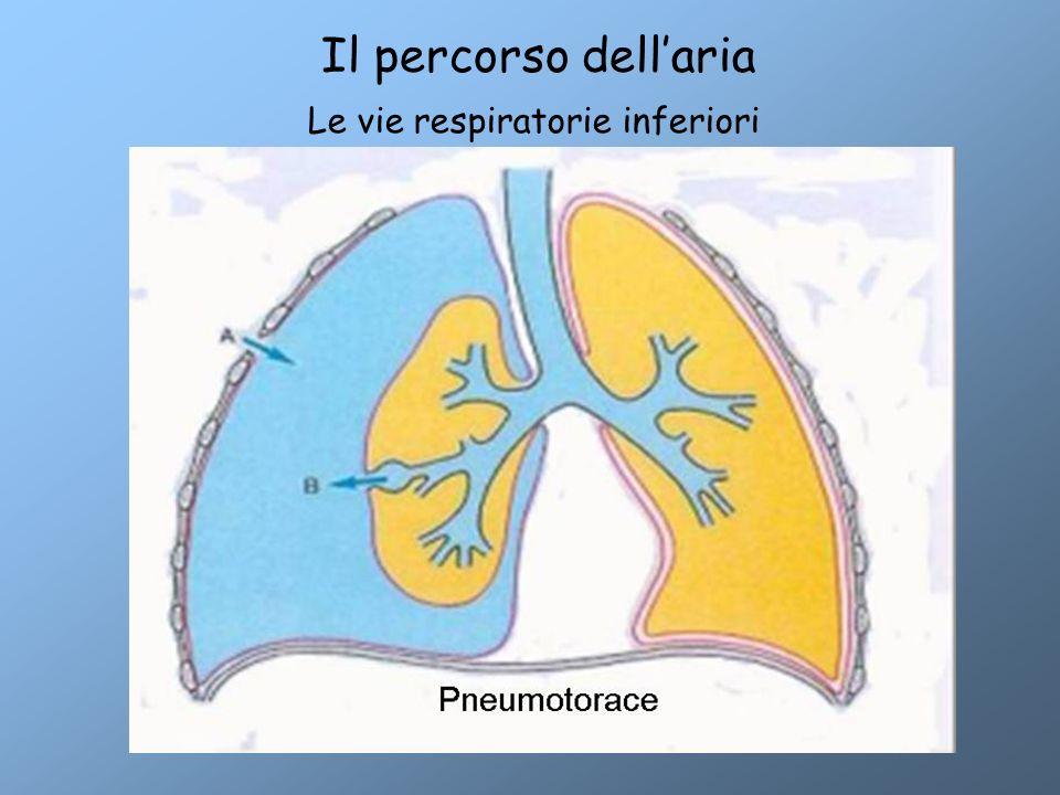 Il percorso dell'aria Le vie respiratorie inferiori