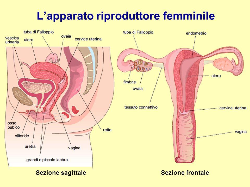 L'apparato riproduttore femminile Sezione sagittale Sezione frontale