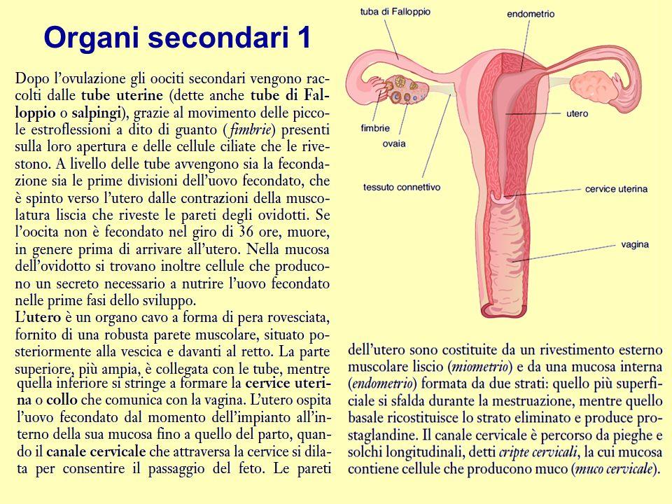 Organi secondari 1