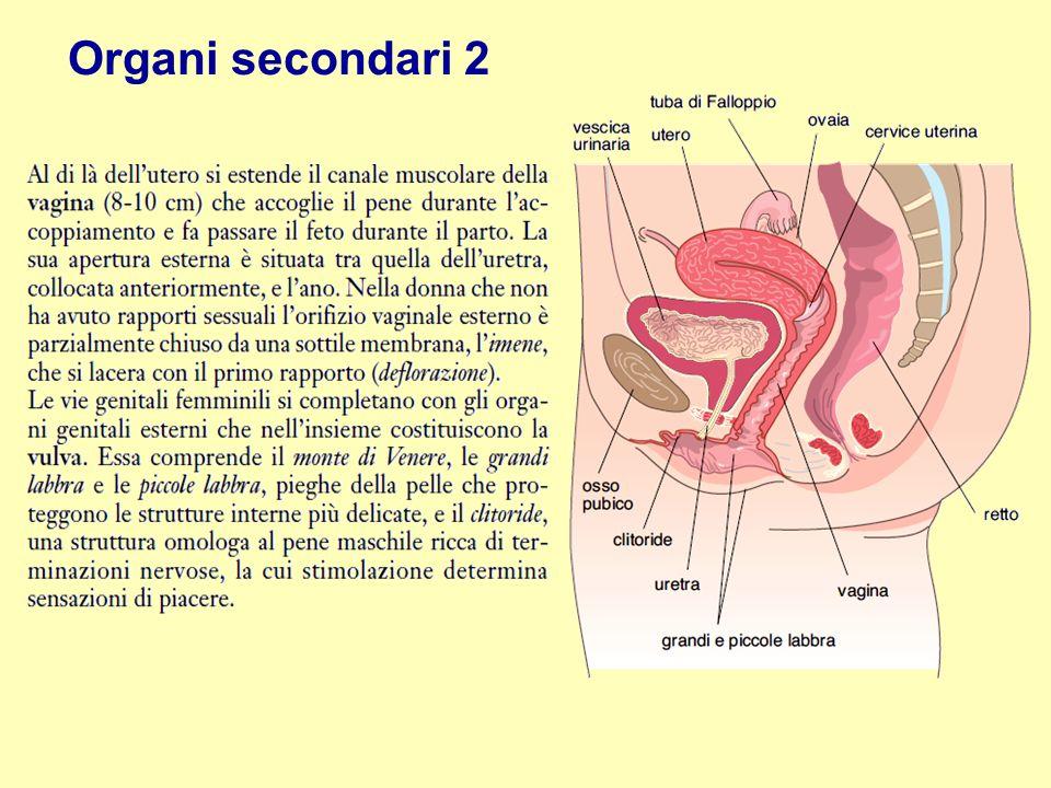 Organi secondari 2