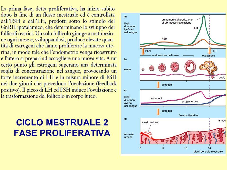 CICLO MESTRUALE 2 FASE PROLIFERATIVA
