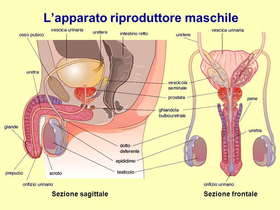 L'apparato riproduttore maschile Sezione sagittale Sezione frontale