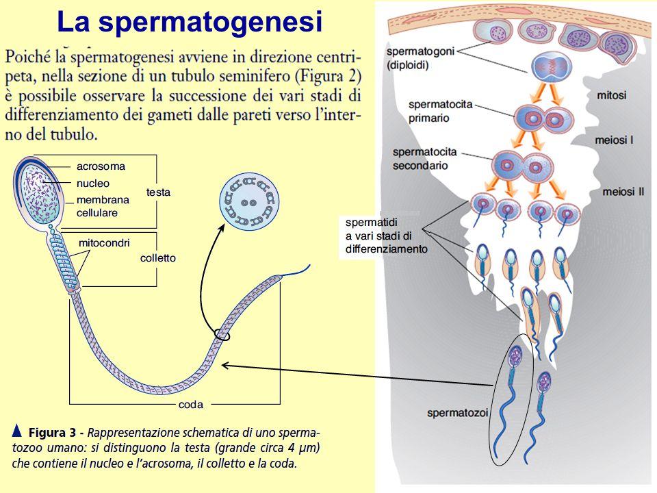 La spermatogenesi