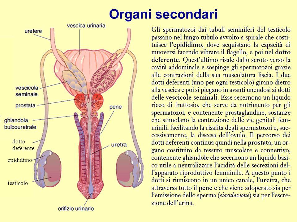 Organi secondari dotto deferente epididimo testicolo