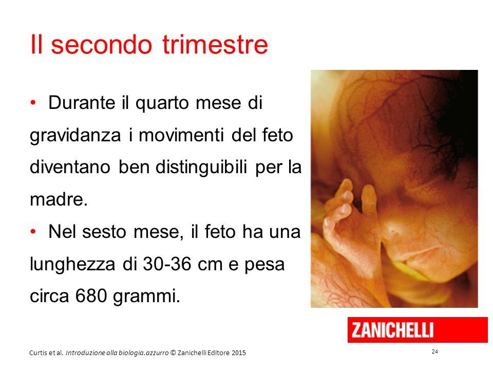 24 Curtis et al. Introduzione alla biologia.azzurro © Zanichelli Editore 2015 Il secondo trimestre Durante il quarto mese di gravidanza i movimenti de