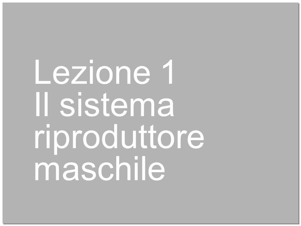 4 Lezione 1 Il sistema riproduttore maschile