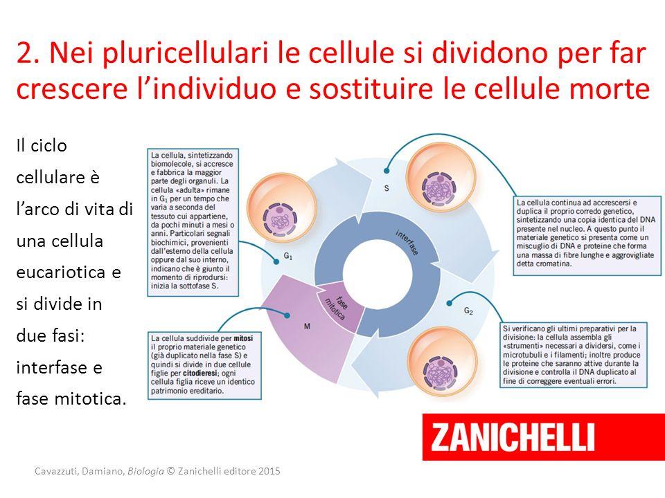 Cavazzuti, Damiano, Biologia © Zanichelli editore 2015 2. Nei pluricellulari le cellule si dividono per far crescere l'individuo e sostituire le cellu