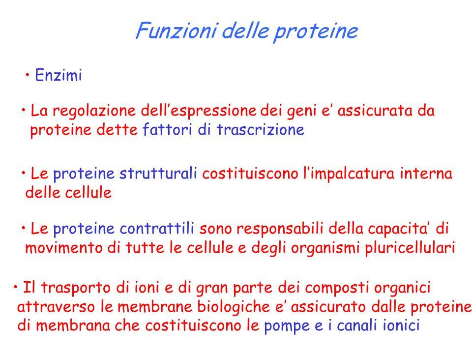 Funzioni delle proteine Enzimi La regolazione dell'espressione dei geni e' assicurata da proteine dette fattori di trascrizione Le proteine struttural