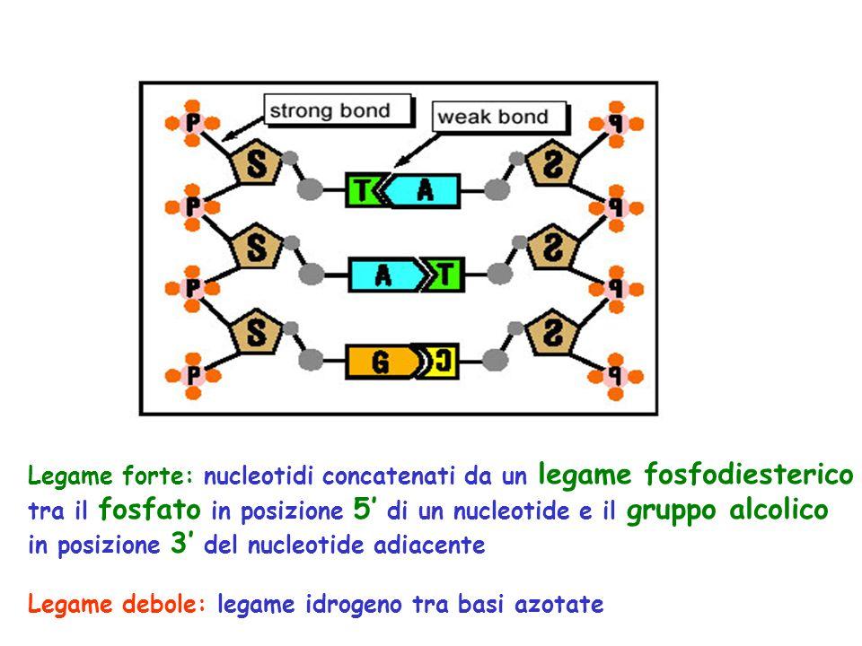 Legame forte: nucleotidi concatenati da un legame fosfodiesterico tra il fosfato in posizione 5' di un nucleotide e il gruppo alcolico in posizione 3' del nucleotide adiacente Legame debole: legame idrogeno tra basi azotate